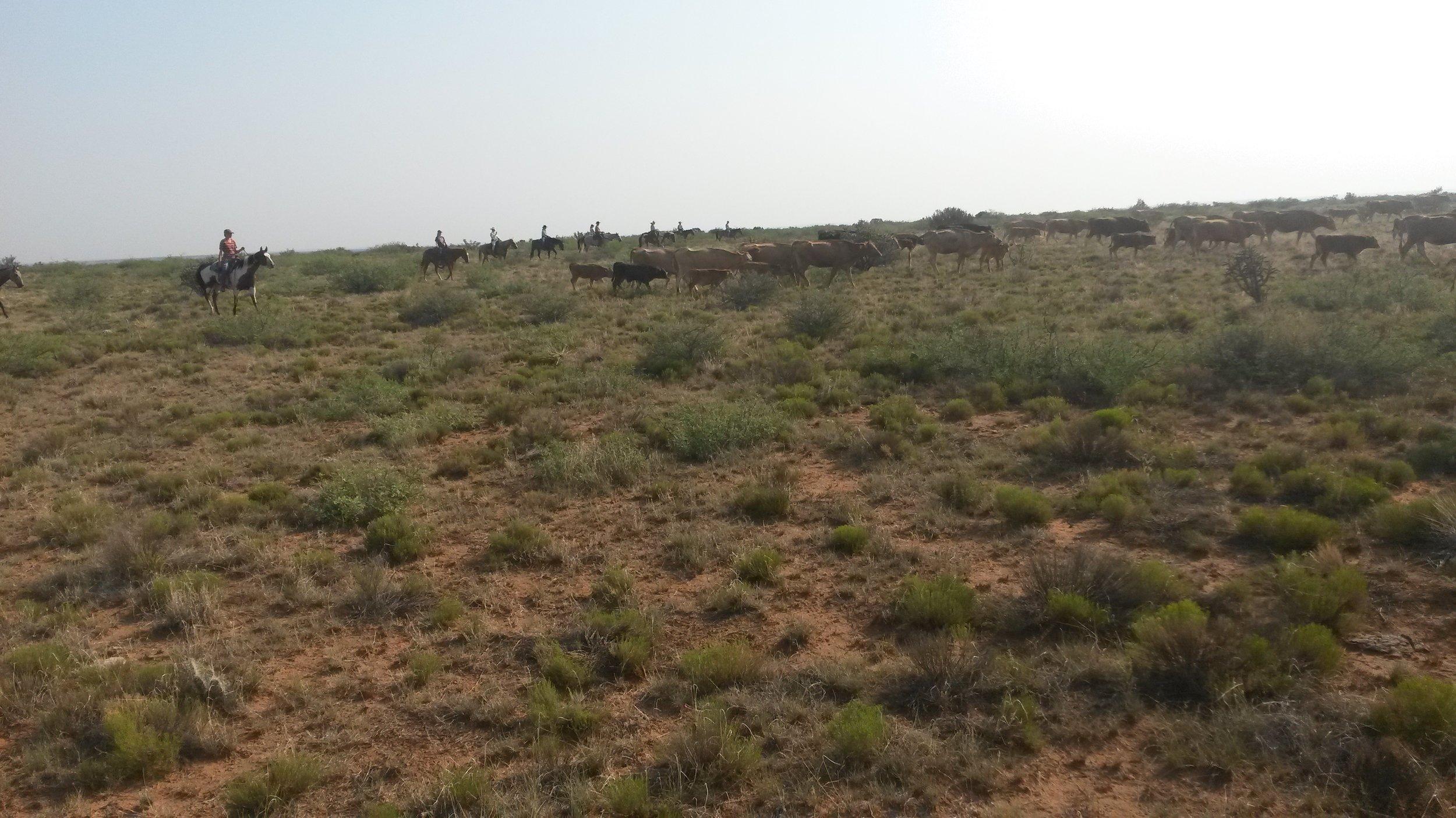 That´s how it should work: Cows in front and riders in a line behind the cattle.  So soll es aussehen: Kühe vorne weg und die Reiter in einer Linie hinter den Kühen.