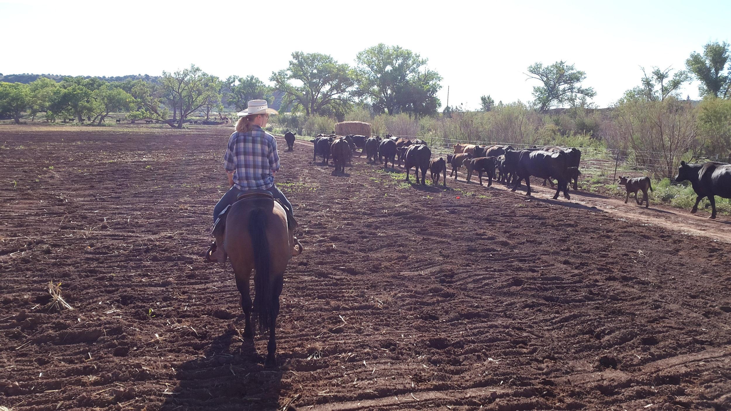 Leonie on Robin is doing a good job in keeping them against the fence.  Leonie auf Robin leisten gute Arbeit die Kühe entlang des Zauns zu halten.