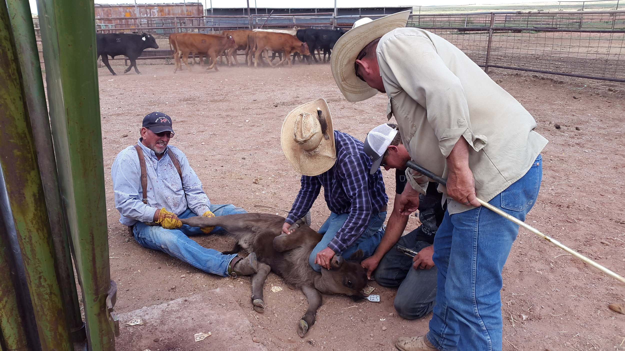 James (left) and Rob (second to left) are flanking a calf while Chance (second to right) and Joe (right) are checking the ear tag.  James (links) und Rob (Zweiter von links) flanken (sorry, wieder kein deutscher Begriff dafür) das Kalb, während Chance (Zweiter von rechts) und Joe (rechts) die Ohrmarke prüfen.