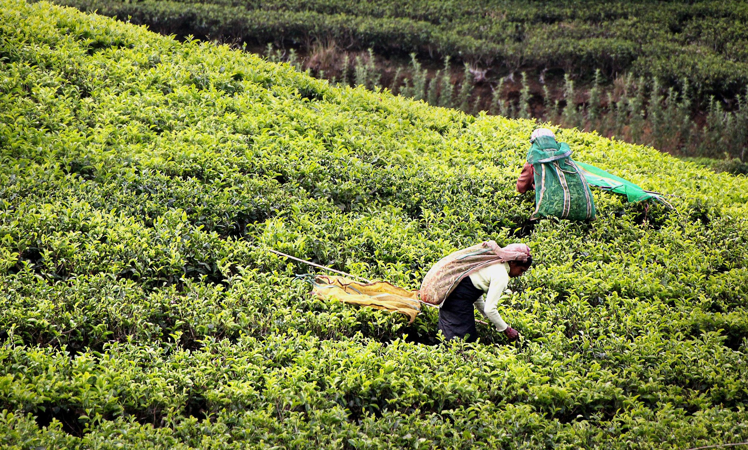 Tea pickers at work in Kandy, Sri Lanka