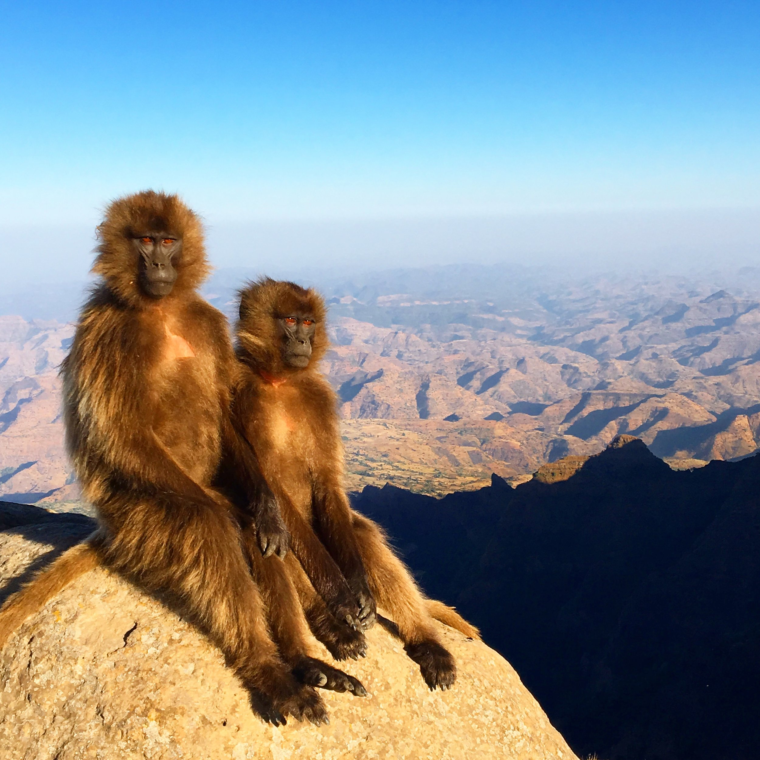 Hanging out with Gelada Baboons in Ethiopia's Simien Mountains. Photo Credit: Katie Silcox