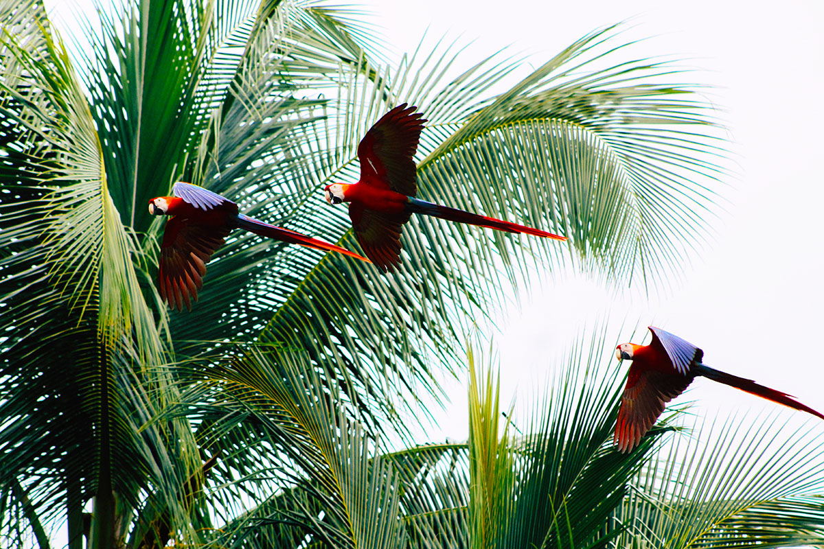 Costa Rican Macaws