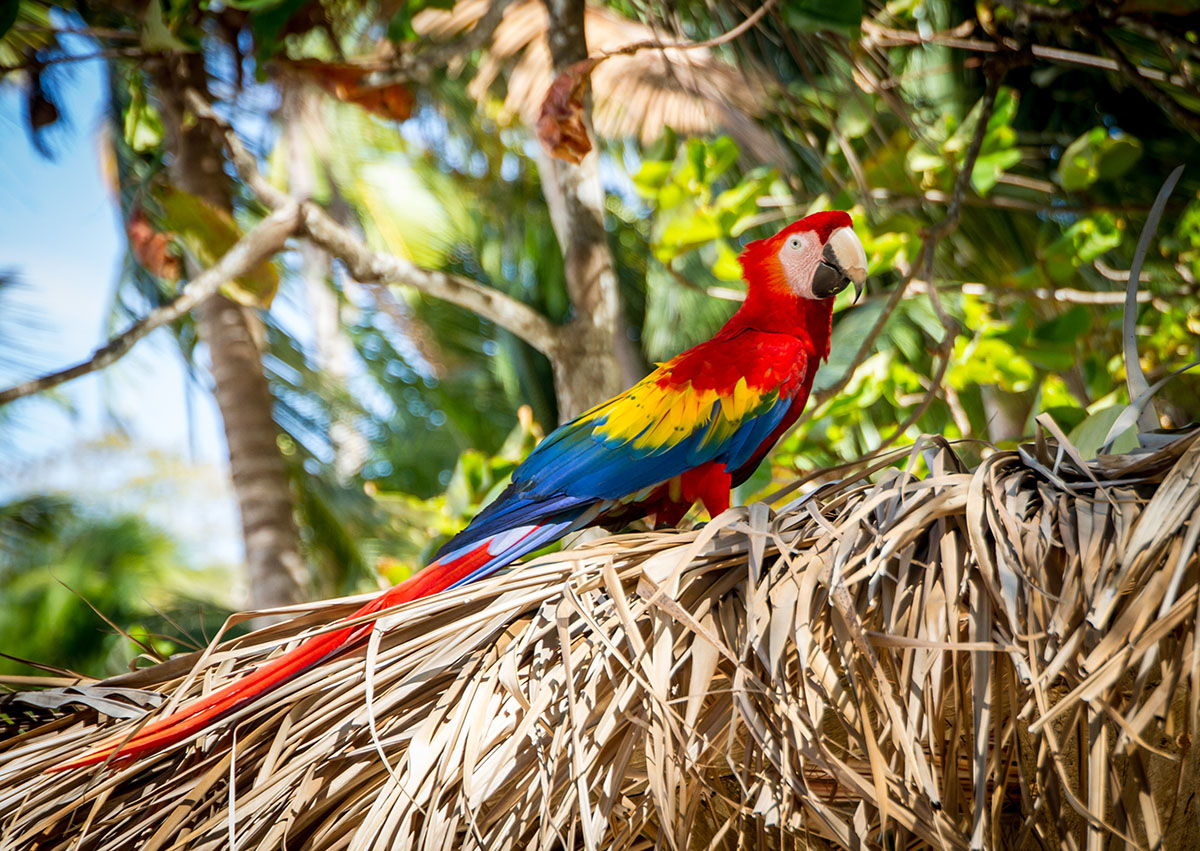 Scarlett Macaw in Costa Rica. Photo Credit: Shannon Kunkle