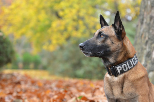 Protection Training - Specialized training for protection and police K9