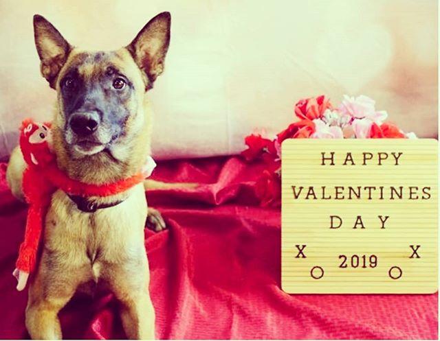 Happy Valentines Day #alldogsunleashednc #alldogsunleashed #mali #malinois #maligator #malinoispuppy #malinoislove4ever #shepherd #shepherds #belgianmalinois #fun #pup #puppy #puppies #puppydog #puppylife #puppylove #puppiesofinstagram #puppygram #dog #dogs #doglife #doglove #doglover #dogstagram #dogoftheday #charlotte #northcarolina #nc #704