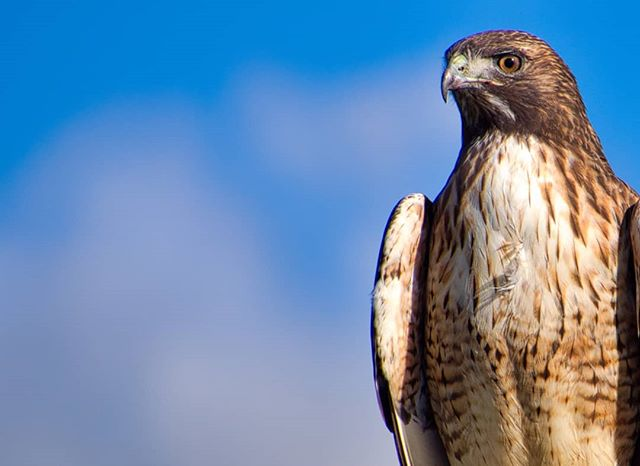 Ruffled  #hawk #bird #birdphotography #california #olympus