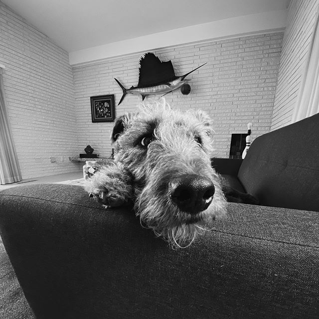 Her life is so tuff. #atomicwigwam #airedaleterrier