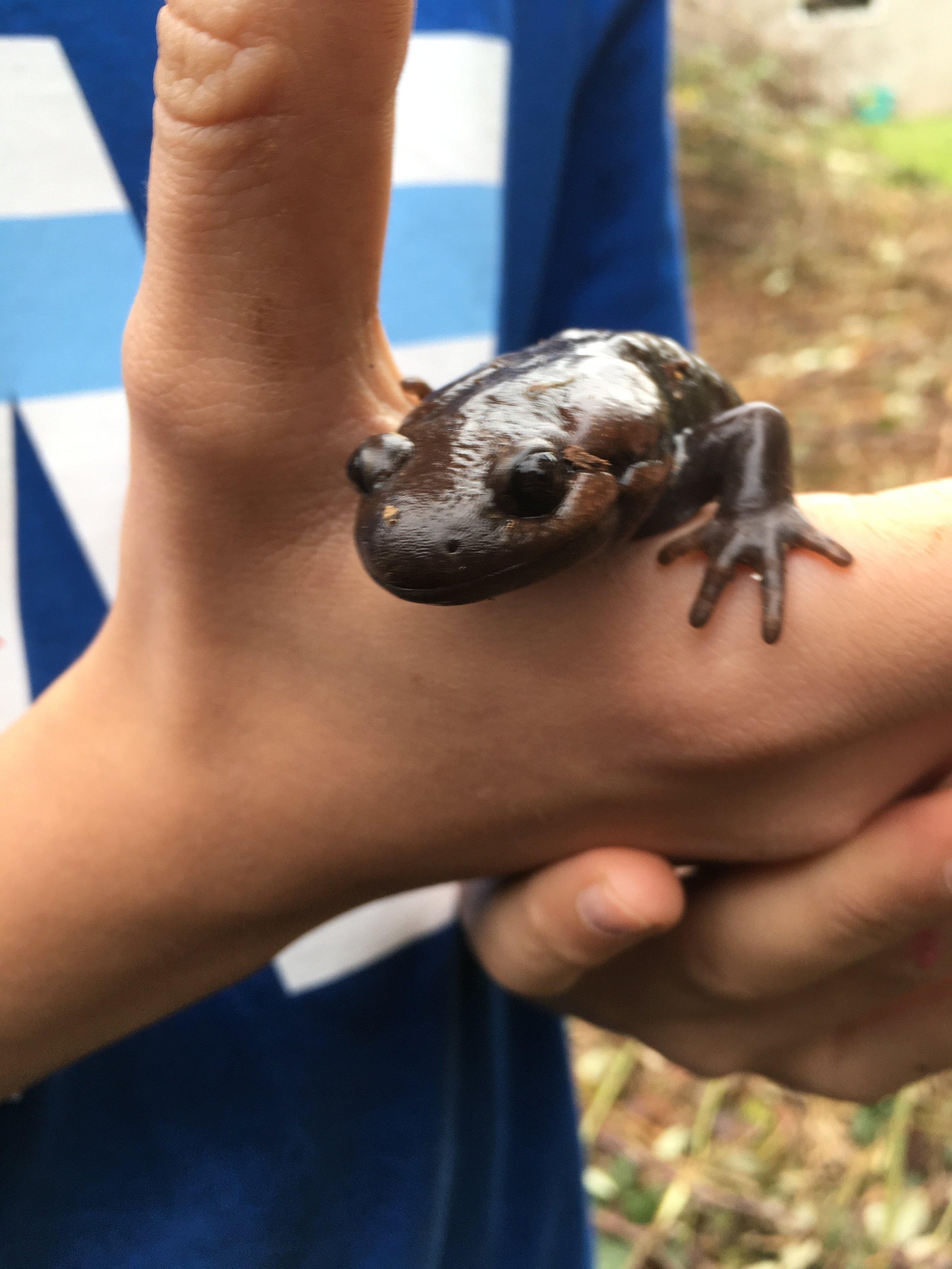 Giant Pacific Salamander