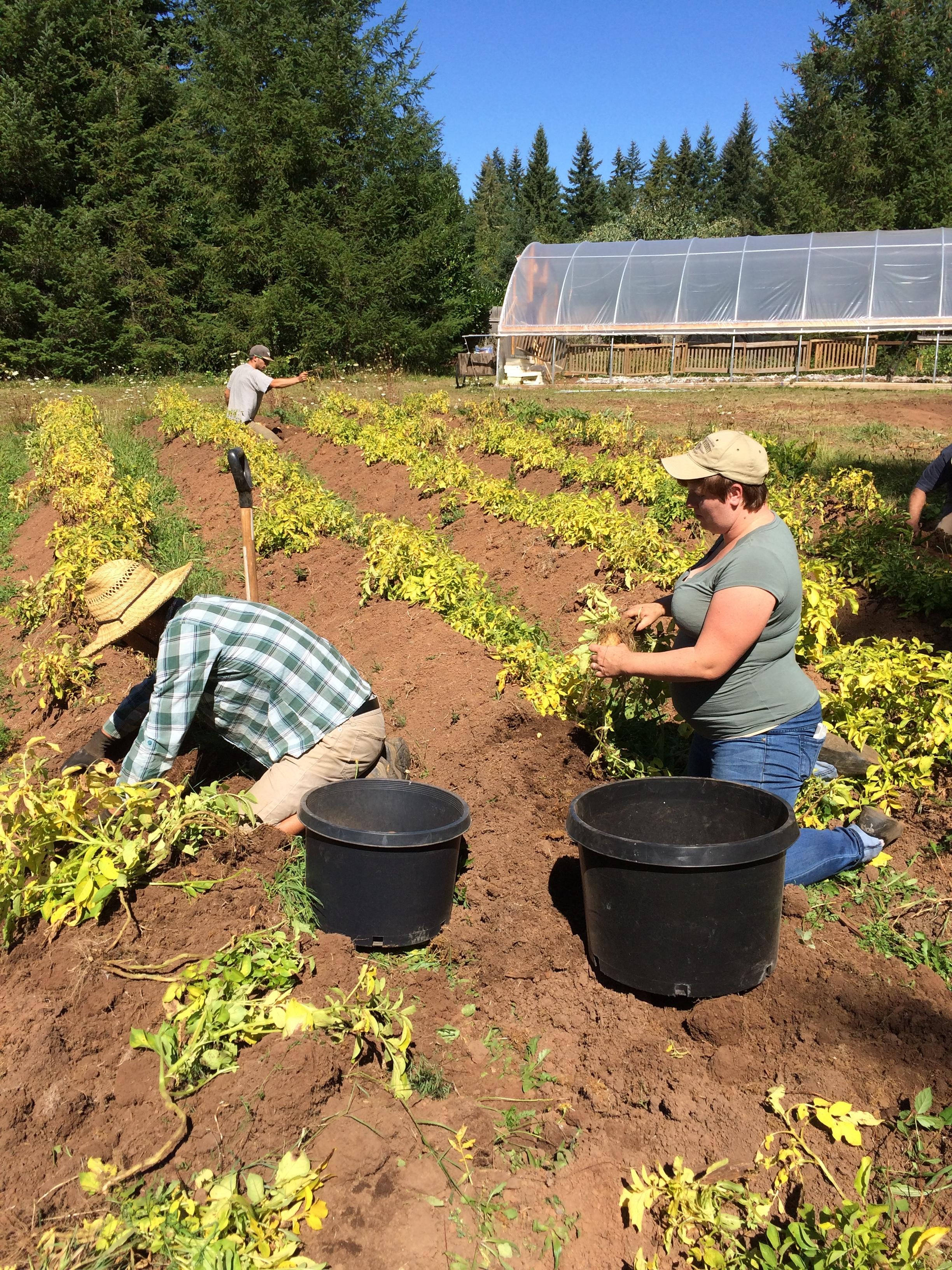 Potato harvest with students