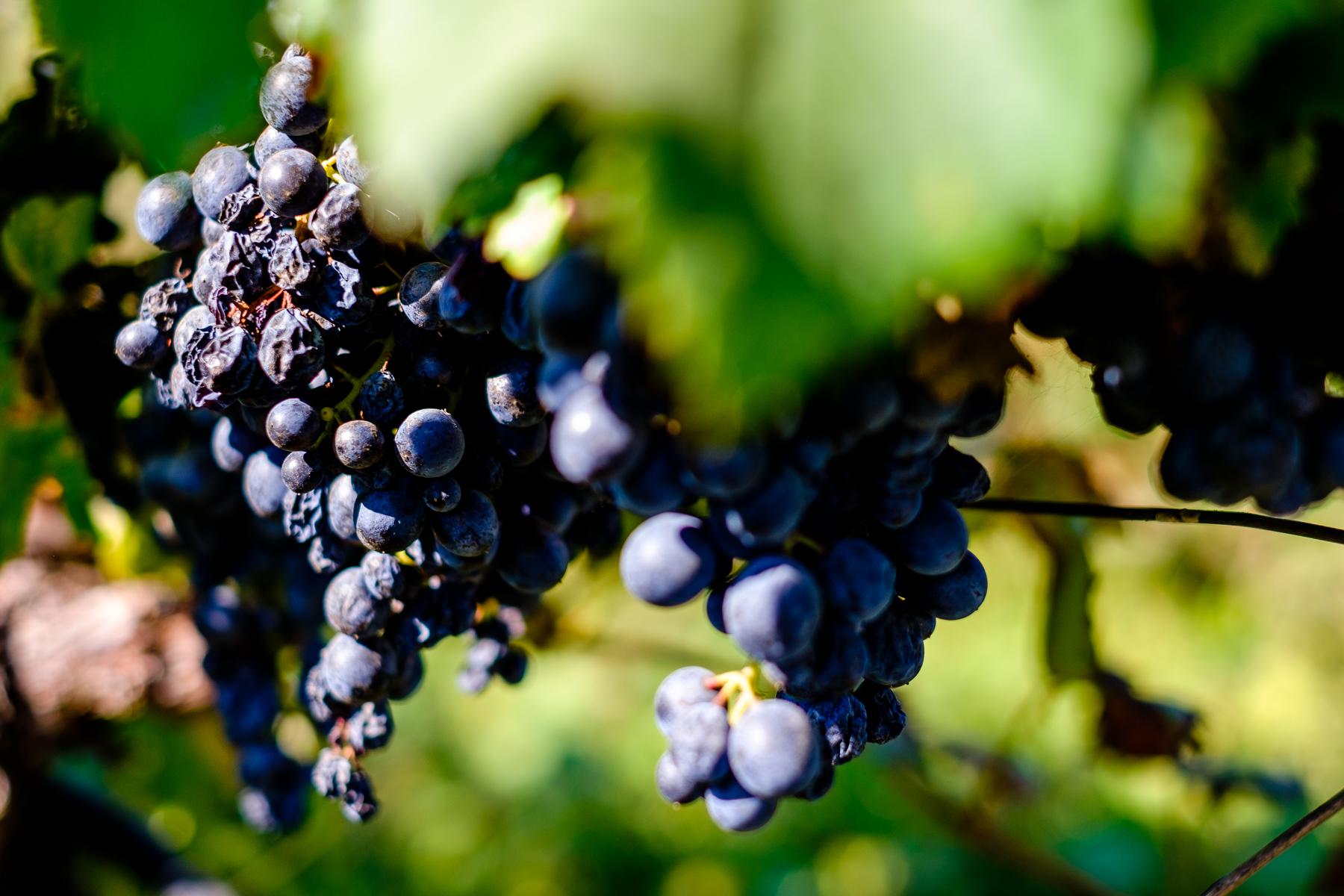 Saperavi grapes at Zangaura Winery