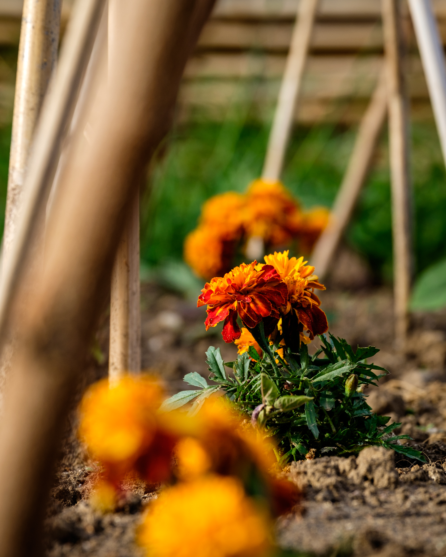 Marigolds, the garden's natural protectors