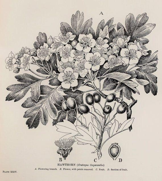 1909 Botanical Print by C. F. Newall