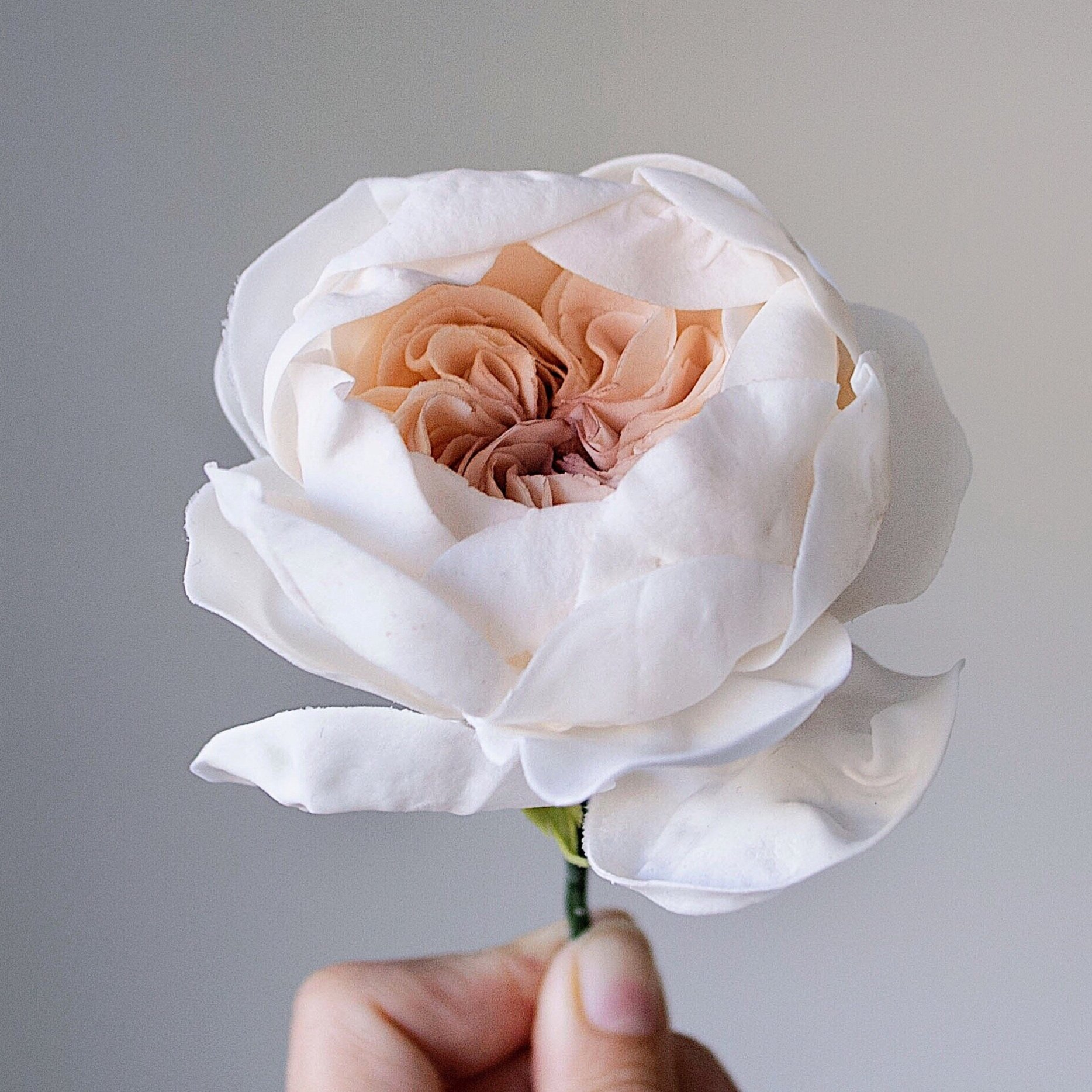 Signature Sugar Juliet Garden Rose