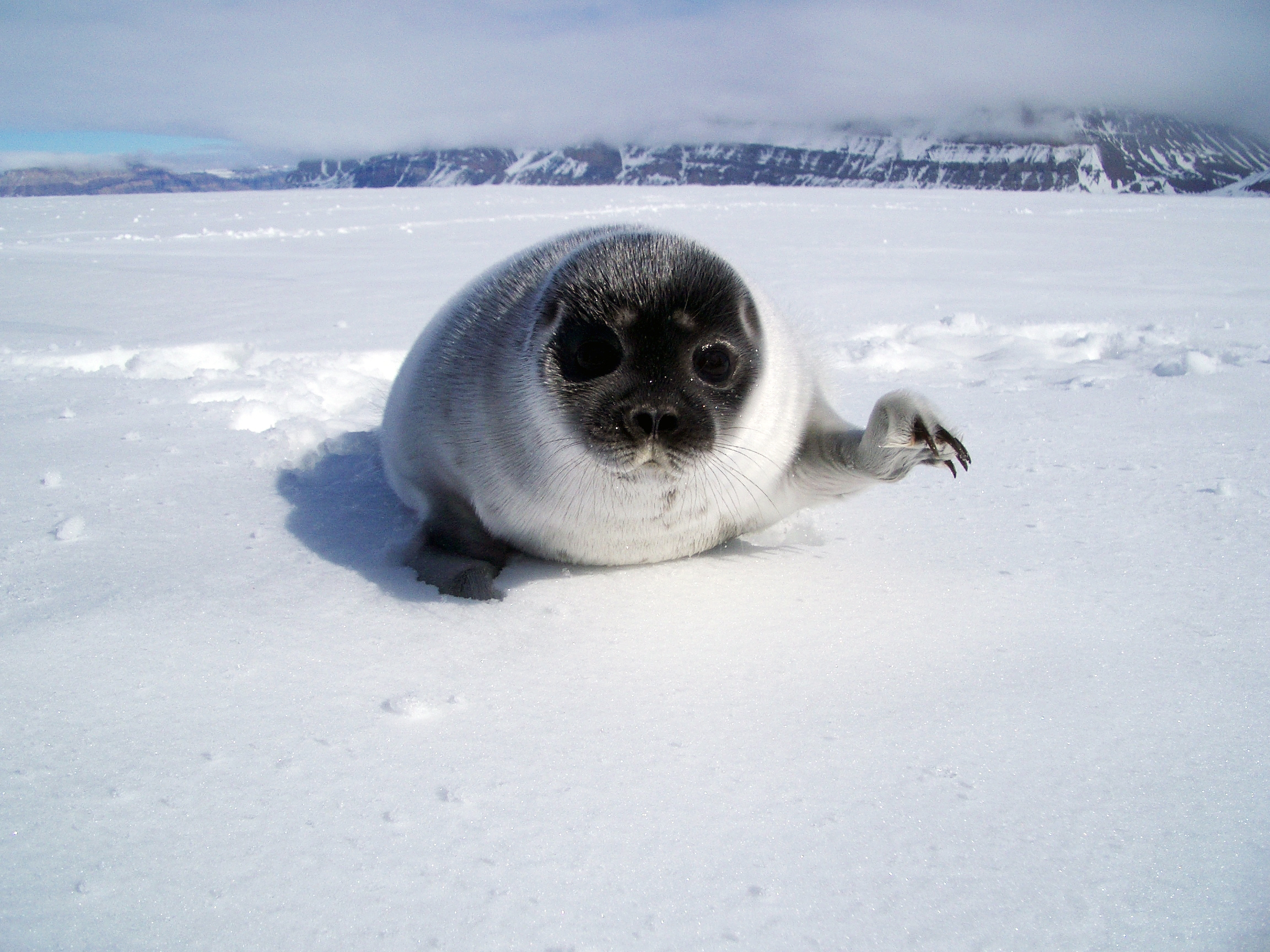 AK_WHAL01_Harp_Seal_pup.JPG