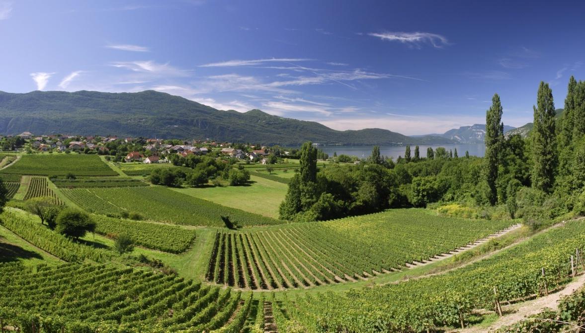Brison-Saint-Innocent-vineyard.jpg