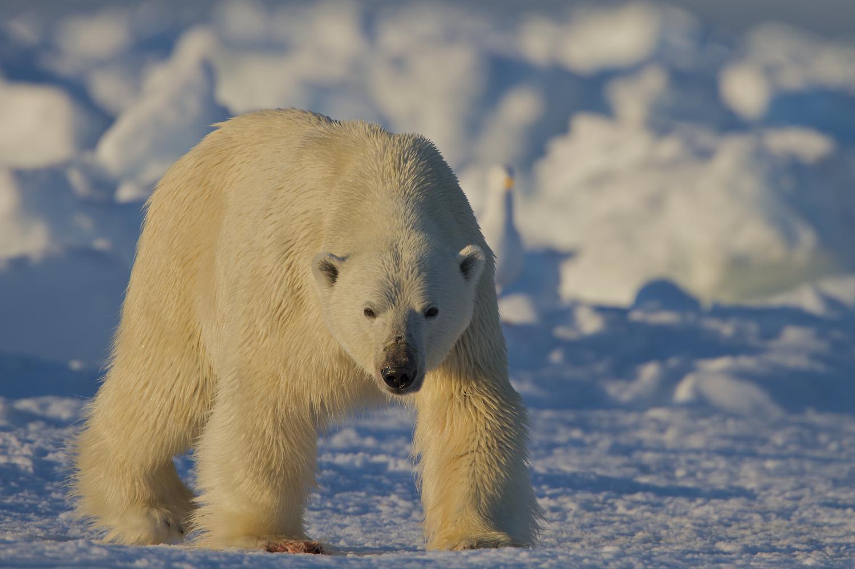 Todd_Mintz_Polar_Bear_MG_0141.jpg
