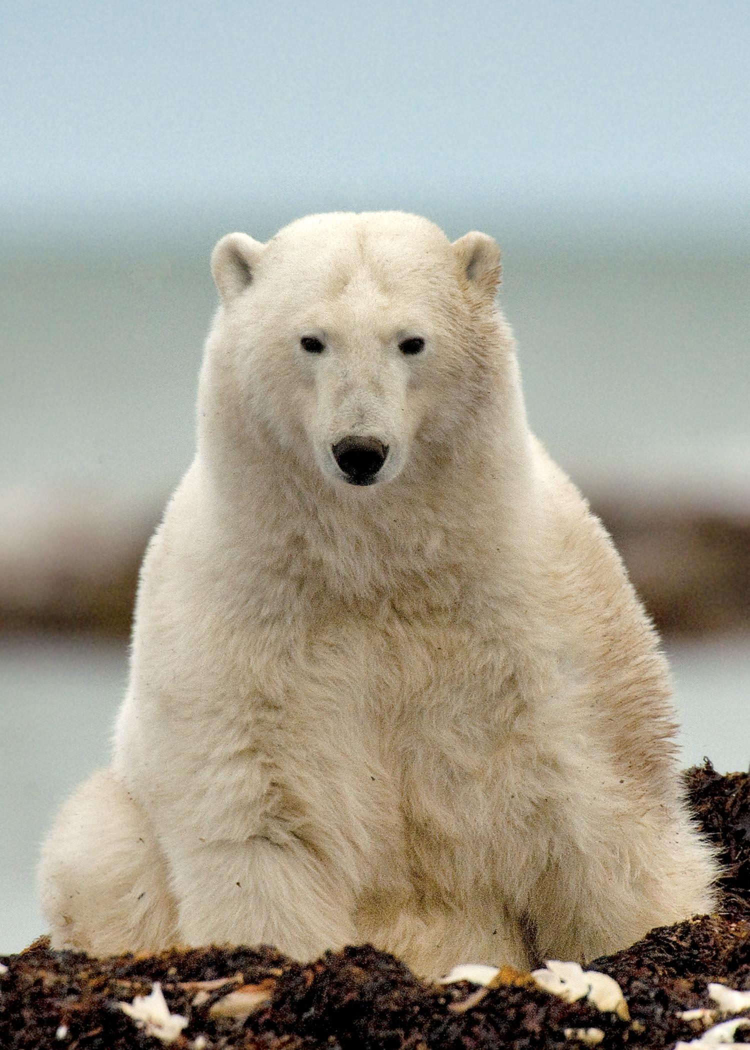 MICHELLE_VALBERG_Polar Bear_V3X2117.jpg