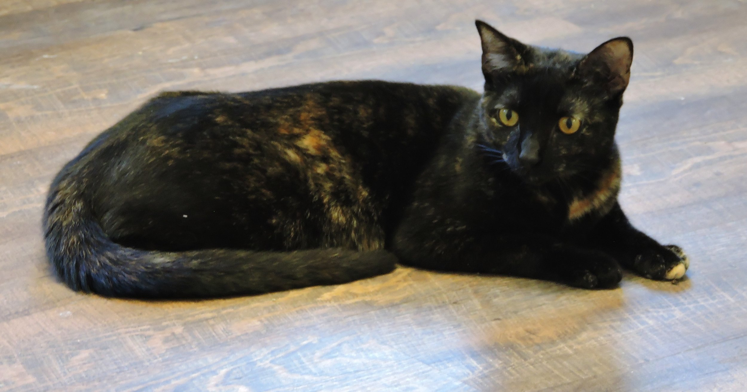Cadence - A young tortoiseshell girl who is sweet but somewhat shy. Unlike most of the cats, she will run on the big wheel chasing a laser light! Cadence is also on KCCR's youtube channel so you can check her out. -