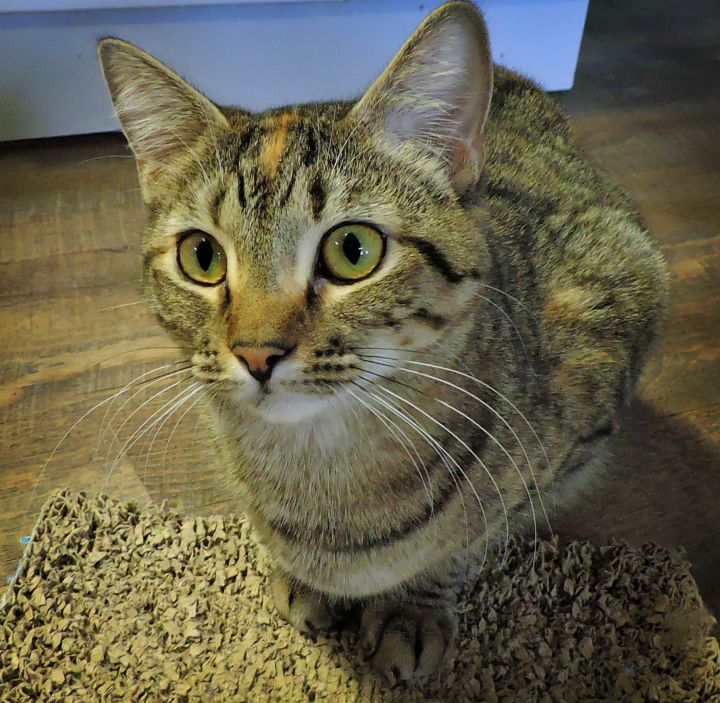 Fern - One year old who loves other kittens and playing with her favorite toys, especially the floor tunnel and laser lights. She even runs on the big wheel! Fern gets along with other cat playmates but can be very shy around people. A patient human friend can bring out her best. -