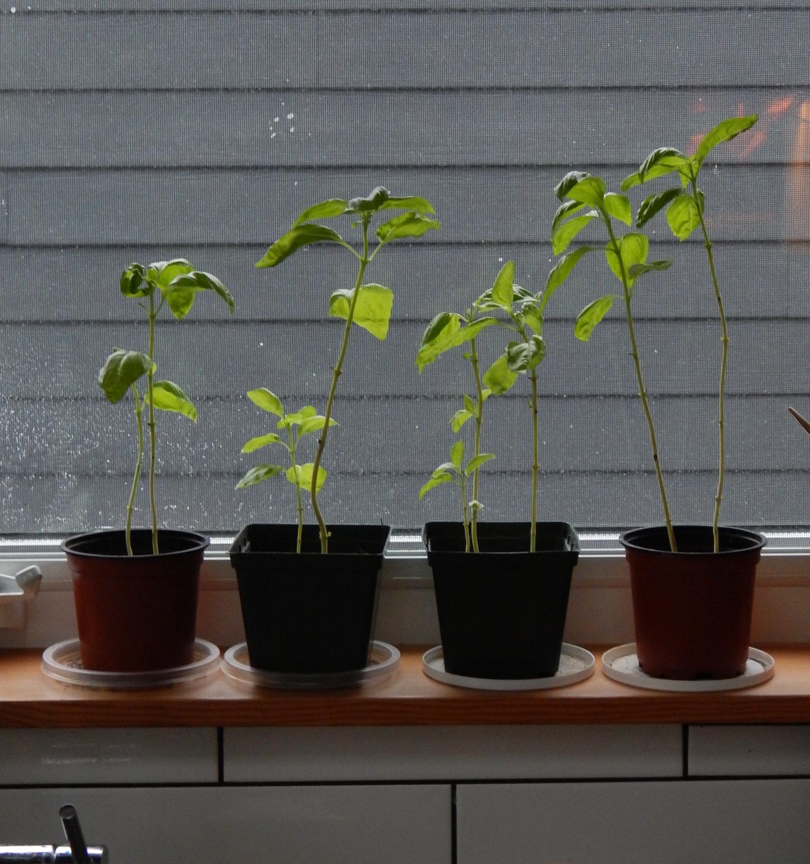 Herbs on window ledge