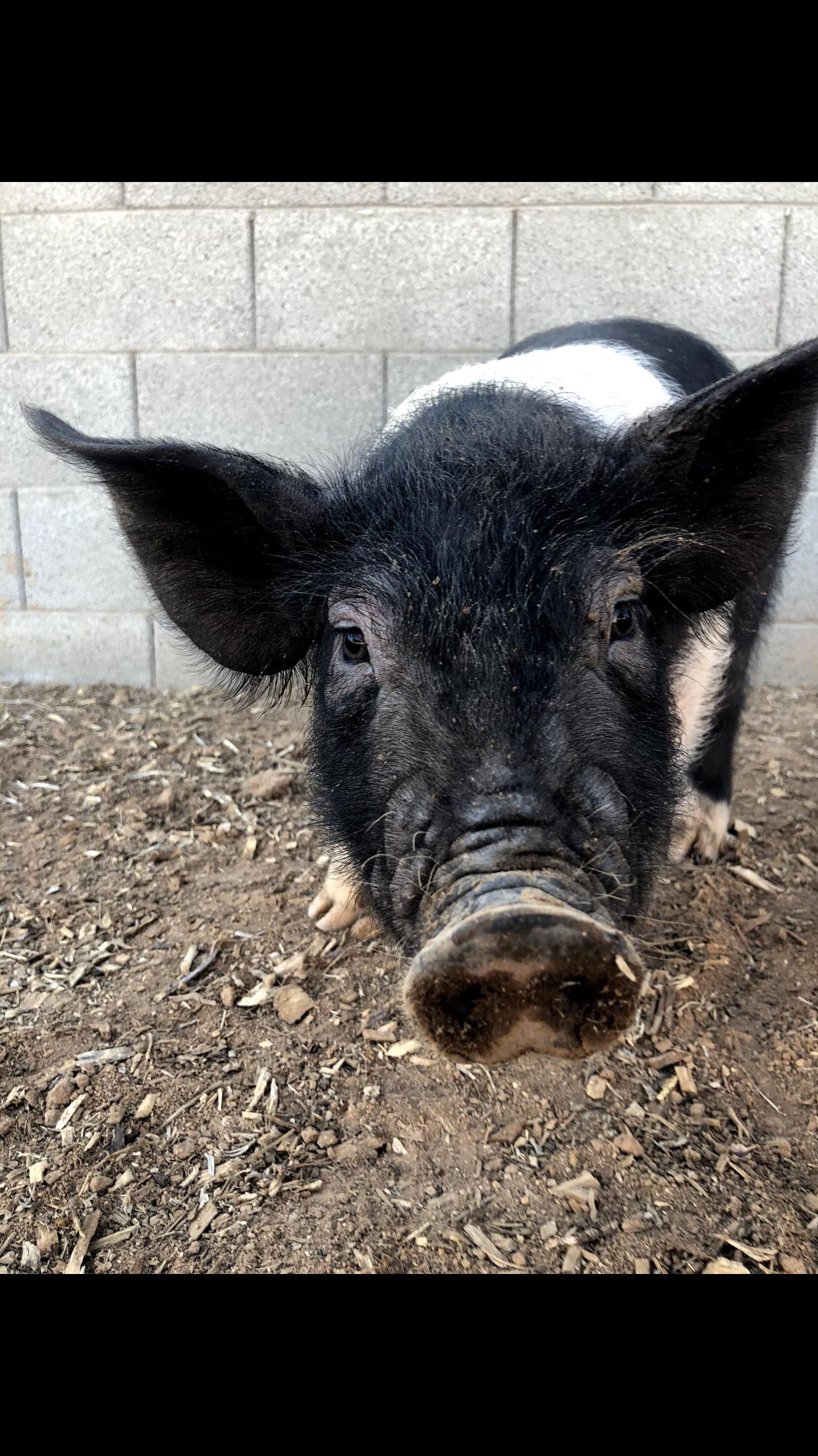 Farm Raised Pork -