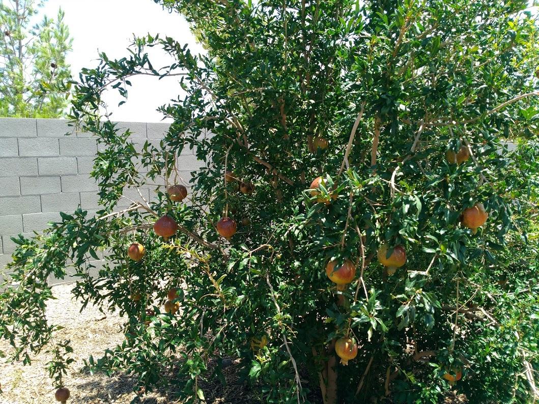 Wonderful Pomegranates.jpg