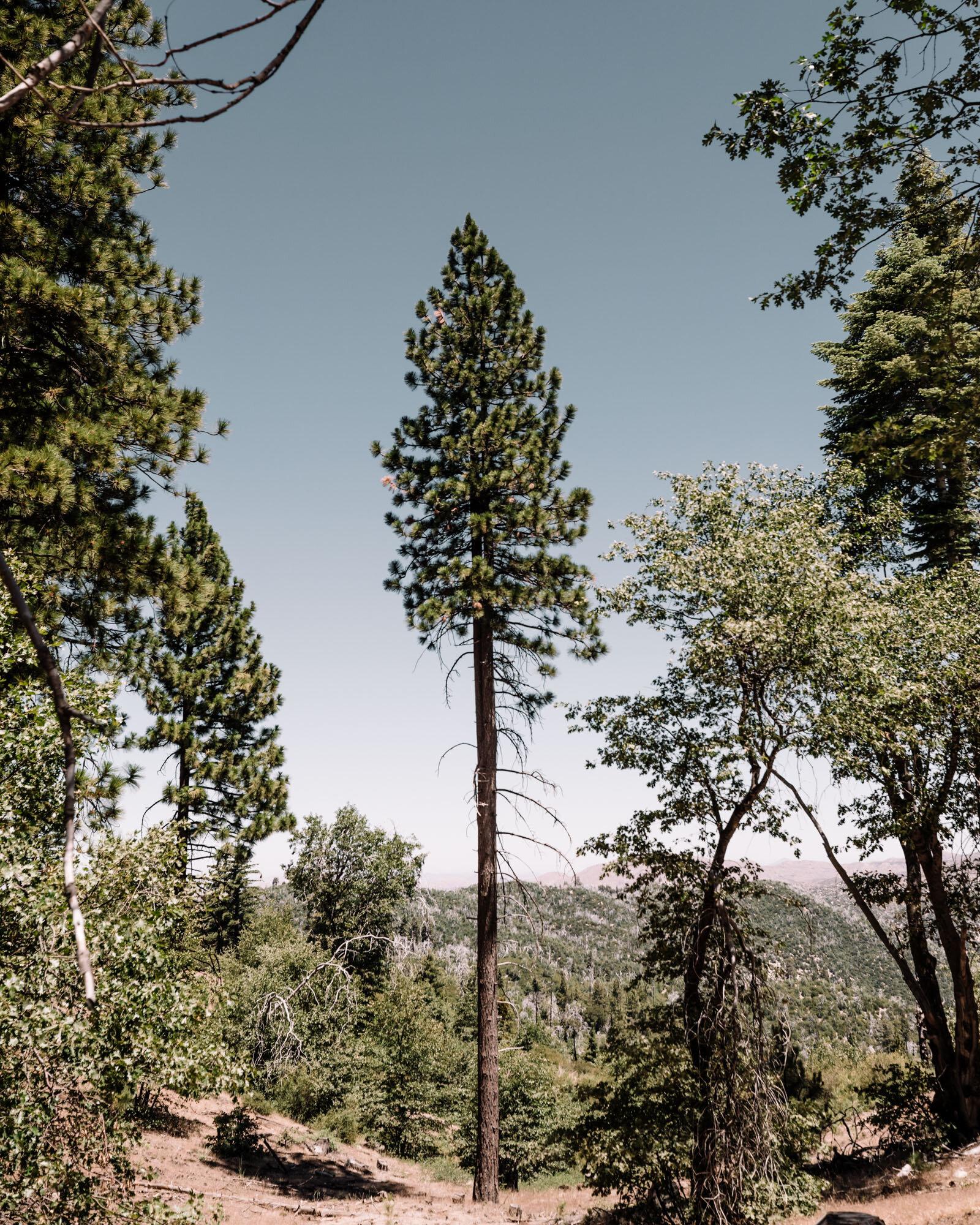 Rachel Off Duty: Big Bear, California Ponderosa Pines