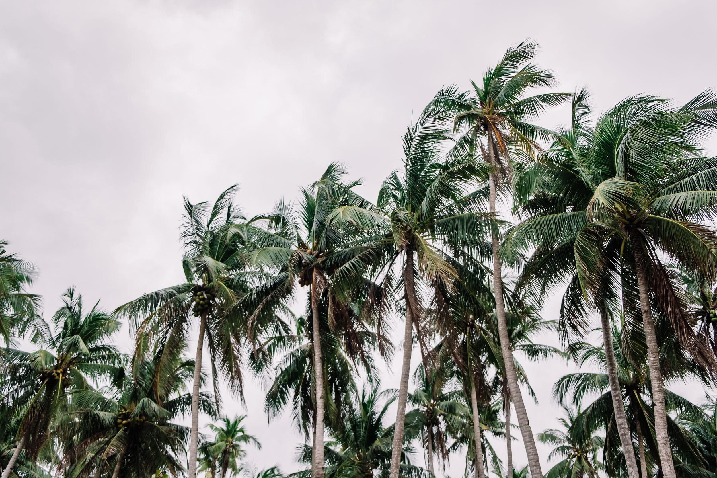 Rachel Off Duty: Coconut Trees on a Cloudy Day