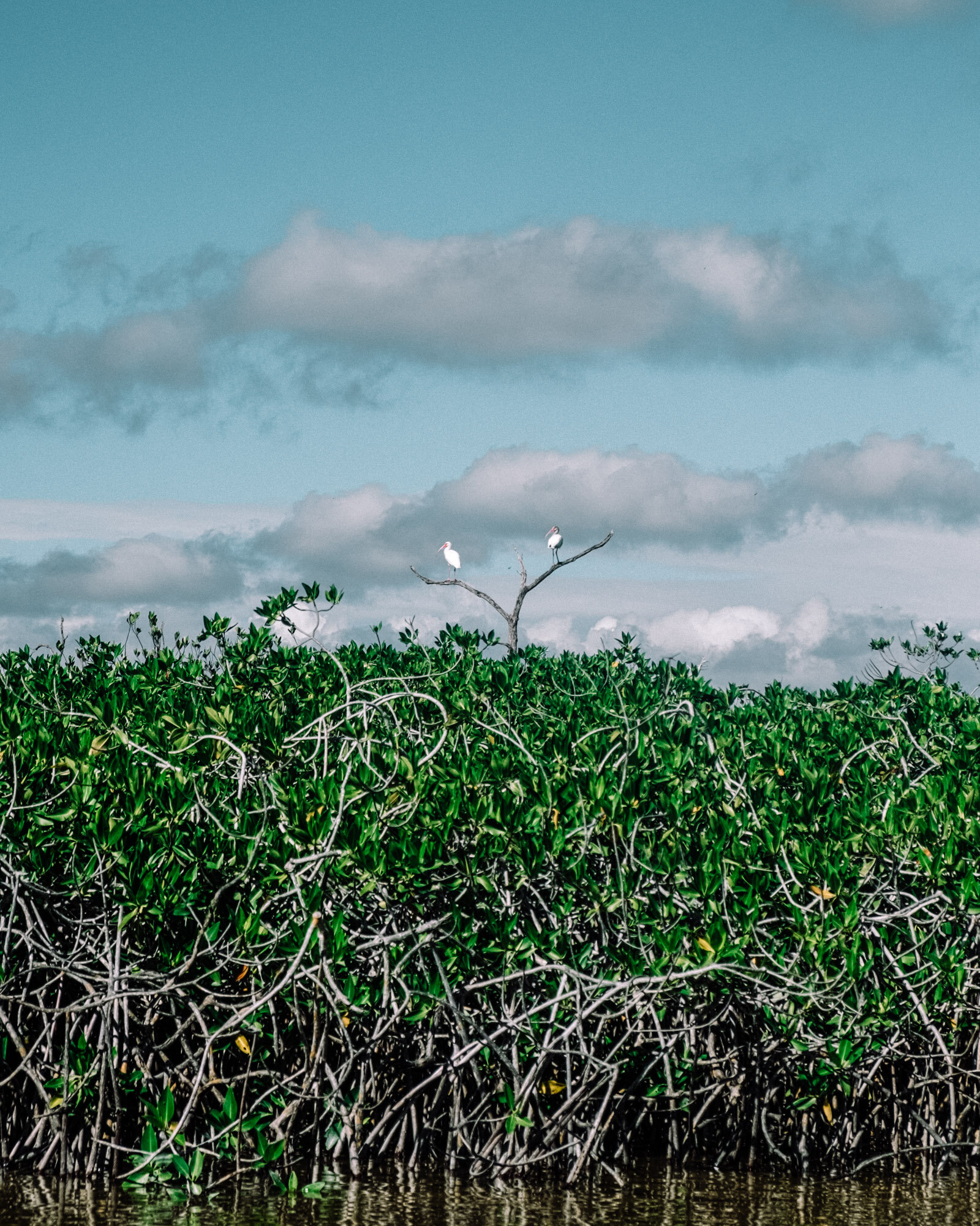 Rachel Off Duty: Birds on Mangroves in Sian Kaan, Punta Allen, Mexico