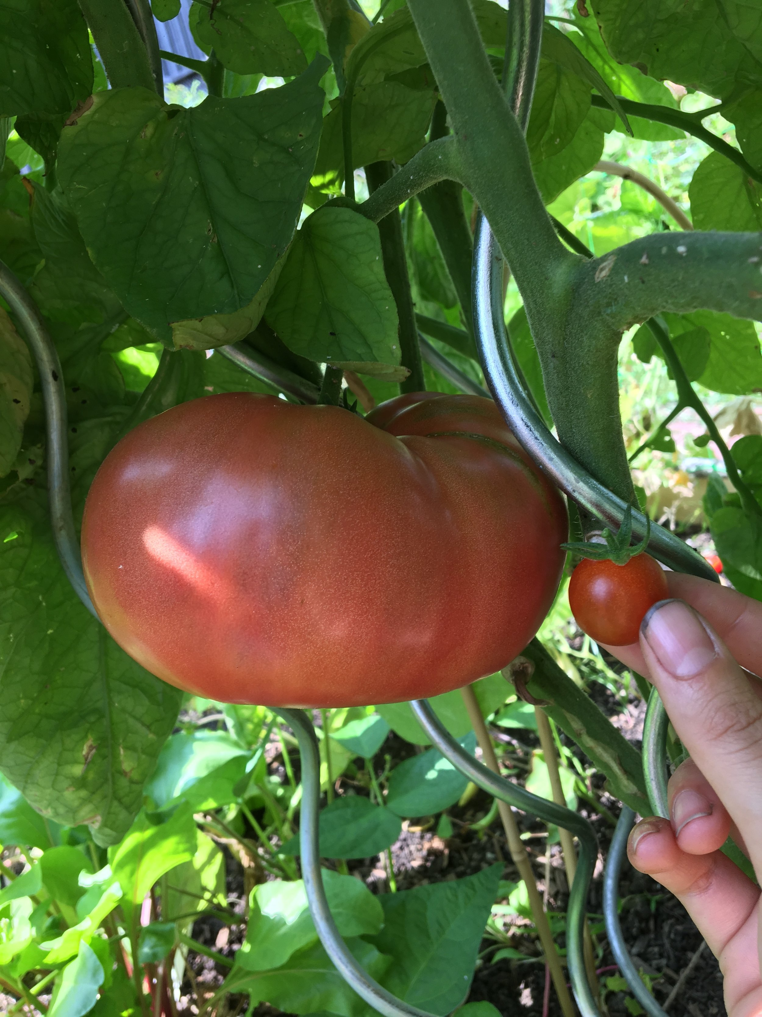 BIG or small, there's a tomato for all!