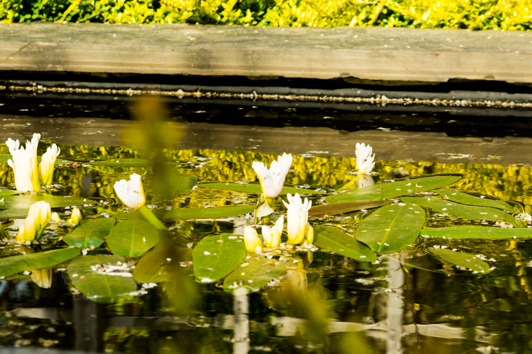 Lily pads in the tank garden