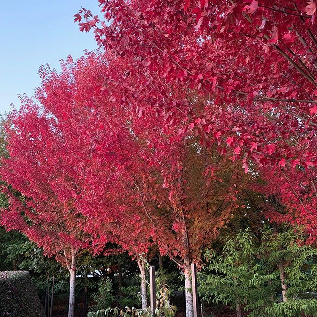 For the past fortnight green foliage has transitioned in to bursts of lipstick red, here at Musk Farm. You're looking at the sugar maples (Acer freemanii) which line our oval. We hope everyone is making the most of autumn this Easter break ⛅️ 🍂  #acerfreemanii #sugarmaples #muskfarm