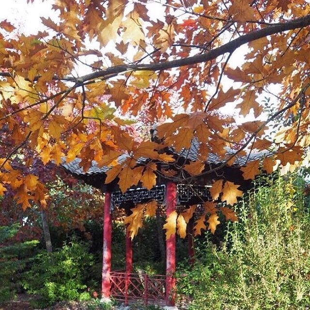 Here's our Common/English oak tree changing colour for autumn. Rumoured to have been here when the property was a state school and planted by students too. The autumn leaves blend beautifully in with the bright red of our Chinese pavilion #autumngarden #chinesepavilion #muskfarm