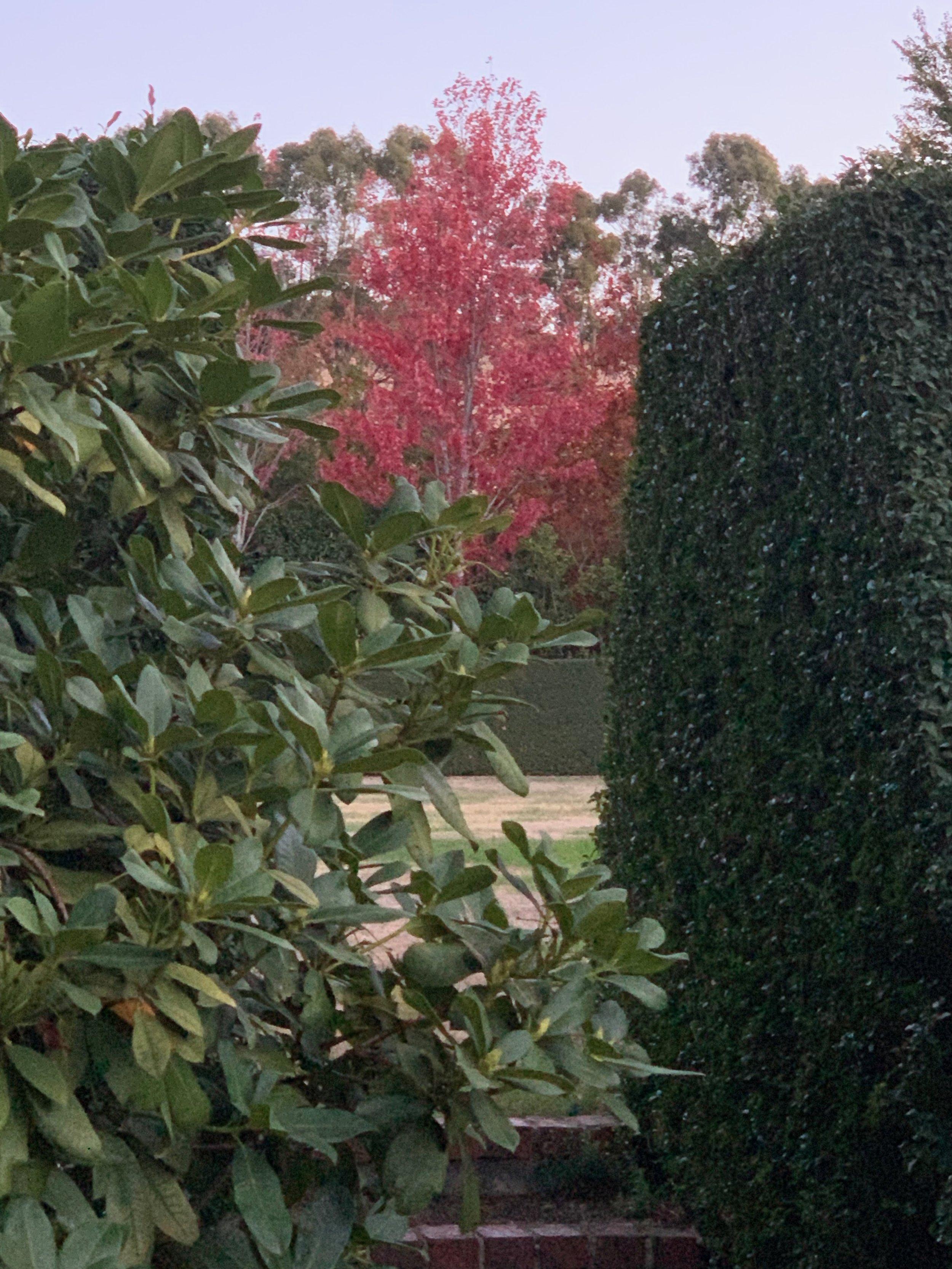muskfarm_hedge_oval_autumn_english_garden_maple_lipstickIMG_0031.jpeg