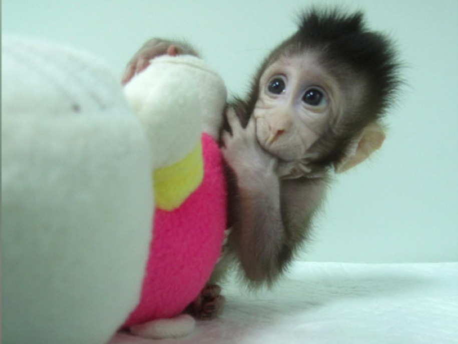 Newly born monkey cloned in Chinese laboratory (Photo: Qiang Sun and Mu-ming Poo, Chinese Academy of Sciences handout from cell / REUTERS)