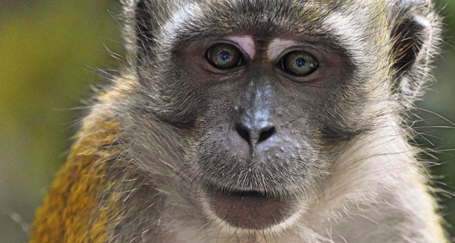 In Southeast Asia, many malaria parasites are transmitted from monkey to human with the help of mosquitoes. Credit:    Donald Walker/Shutterstock