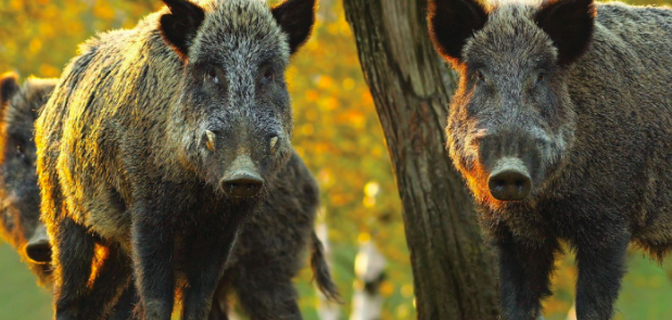 Wild boars carrying African swine fever pose a threat to Europe's pork industry. Photo:  Pig World