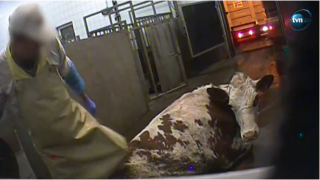 Footage aired by Polish television news channel TVN24 on Jan. 26, 2019 shows sick cows in a Polish slaughterhouse in Kalinowo, a village roughly 100 kilometers (62 miles) northeast of the capital Warsaw. Photo:  TVN24