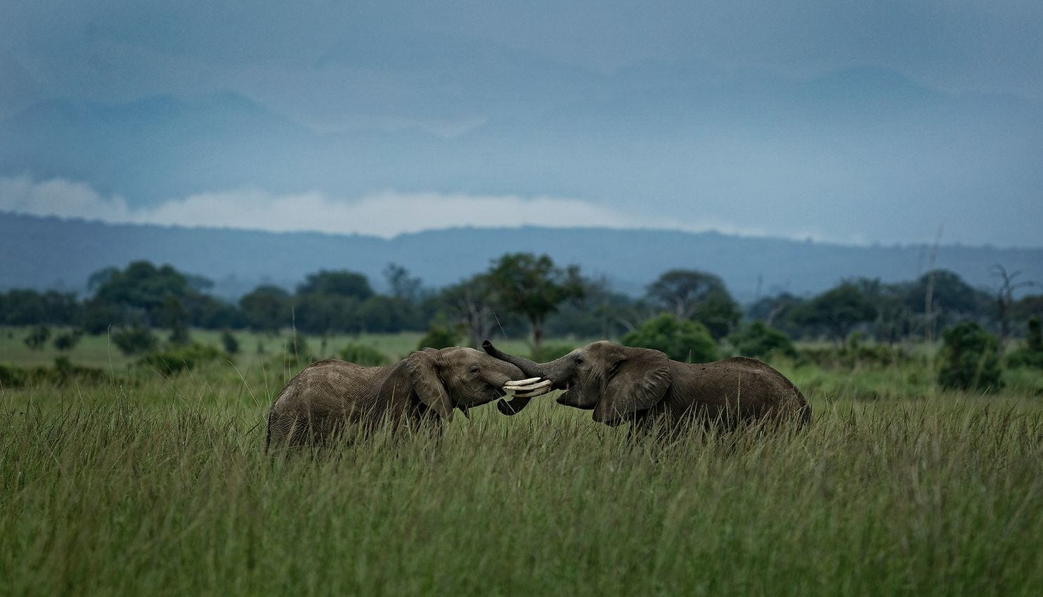 Two Elephants in Mikumi National park, Tanzania Photo:  Ben Curtis/AP Photo