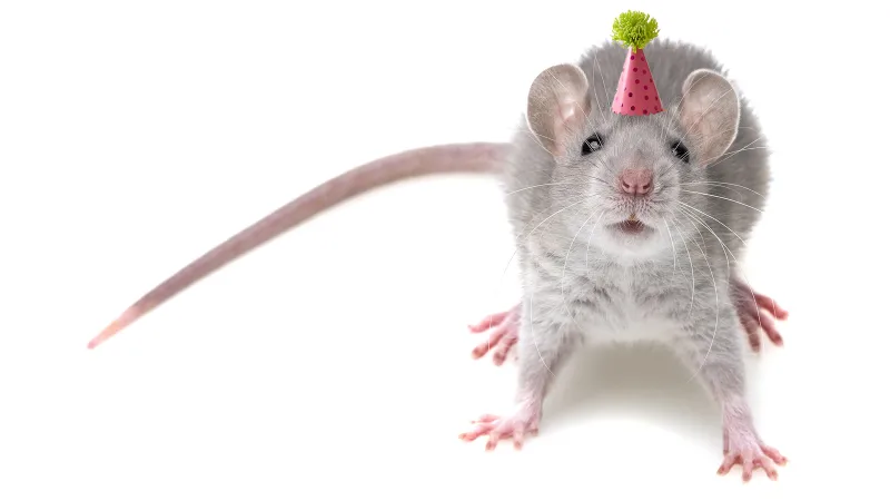 A mouse feeling particularly sociable, presumably due to a dose of MDMA. Photo: British Pest Control Association
