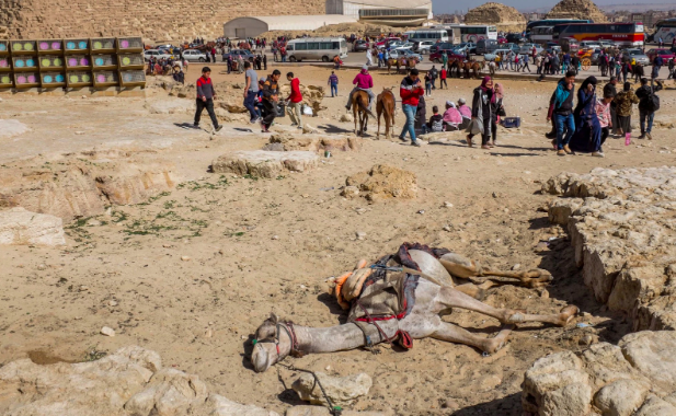 A recently collapsed camel at Giza's pyramids..  Photo : Heba Khamis/The New York Times