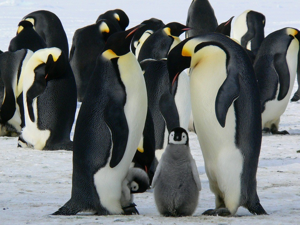 The world's second largest emperor penguin colony has been decimated over the last three years. Photo:  Pixabay .