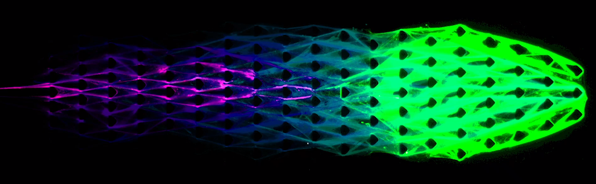 "An image of the biomaterial in motion, as captured under a microscope. The ""head,"" on the right in green, is ""growing"" towards a destination while the ""tail,"" on the left in purple, is decaying with the ""head,"" away from the origin. (Photo: Cornell University)"