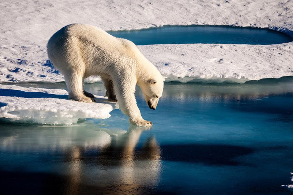 Polar bear tries to gain steady ground on delicate sea ice.  Photo: Mario Hoppman/ Global Climate Change