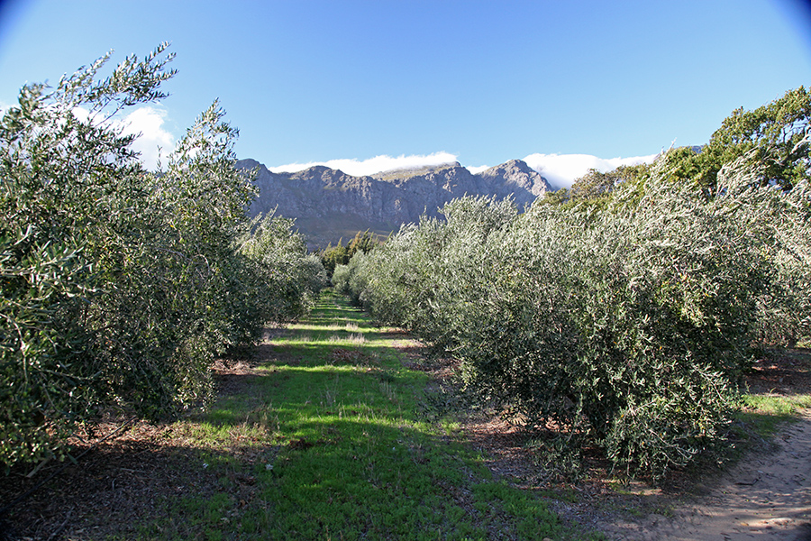 la-bourgogne-olive-grove.jpg