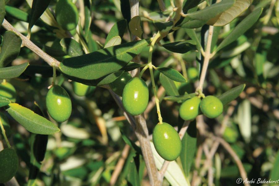 prinve-albert-olives-branch.jpg