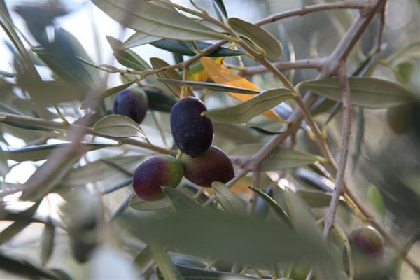 kransfontein-olives-branch.jpg