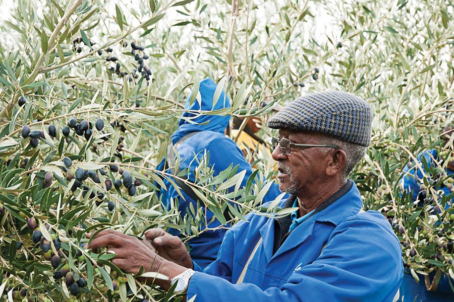 oakhurst-olives-grove.jpg