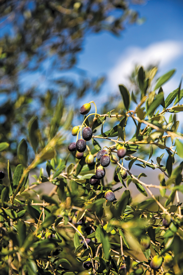 olive-factory-extra-virgin-olive-oil-02.jpg