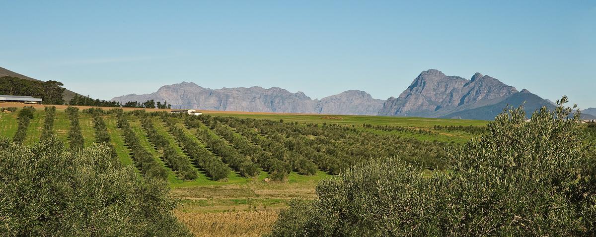 vesuvio-extra-virgin-olive-oil-02.jpg